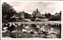 Postcard Hamburg Eimsbüttel Stellingen, Carl Hagenbecks Tierpark, Schwäne