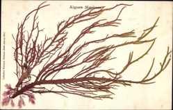 Material Ak Algues Marines, Echte, getrocknete Seealge
