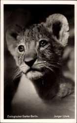 Postcard Zoologischer Garten Berlin, Portrait eines Jungen Löwen, Löwenkind