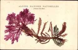 Material Ak Algues Marines Naturelles, Fleurs de Mer, Echte Alge
