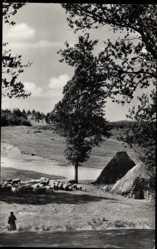 Postcard Sternberg in Mecklenburg Vorpommern, Schafschuppen, Schafherde
